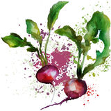 Radish watercolor. Fresh vegetables diet with watercolor splashes Stock Photography