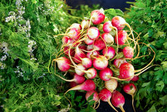 Radishes. A bunch of radishes  between parsley and coriander at the market Stock Images
