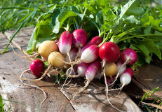 Free Radishes Stock Photography - 26035102