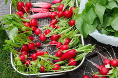 Radishes in a basket Stock Images