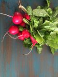 Radishes. Bright red radish bunch on turquoise and teal distressed wood board Royalty Free Stock Photography