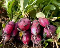 Radishes close up. Radishes in the field close up Royalty Free Stock Photo