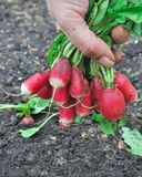 Radishes. Close up of radishes in a hand freshly harvested Royalty Free Stock Photos