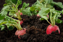 Radishes in the field. Fresh radishes still in the field Royalty Free Stock Photo