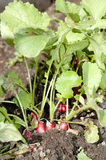 Radishes in garden Royalty Free Stock Photography