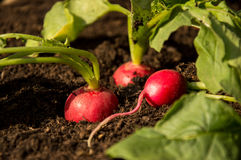 Radishes in the Garden. Fresh Radishes growing in the Garden Royalty Free Stock Images