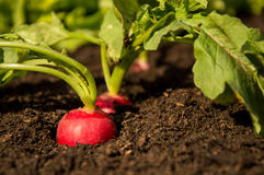 Radishes in the Garden Stock Photography