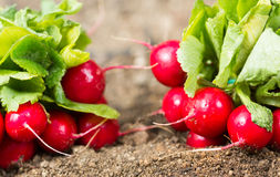 Radishes in the garden. Of freshly picked organic garden radishes Royalty Free Stock Images
