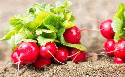 Radishes in the garden. Of freshly picked organic garden radishes Royalty Free Stock Photography