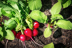 Radishes in the garden. Growing on black soil Royalty Free Stock Image