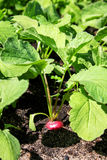 Radishes in the garden. Growing on black soil Royalty Free Stock Photos