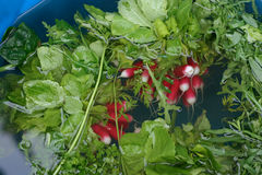 Radishes and greens. Bunches of radishes and salad greens floating in bucket of water Royalty Free Stock Images