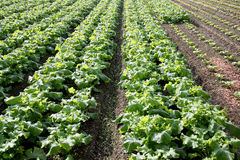 Radishes growing field. Radishes plant in a farm field Stock Photography