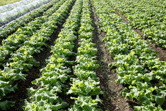 Radishes growing field. Radishes plant in a farm field Stock Photos