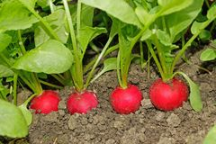 Radishes growing in soil Royalty Free Stock Image