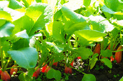 Radishes growing in soil. Red radishes growing in the black soil in bright sunlight Stock Image