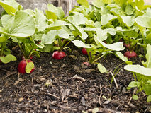 Radishes growing Stock Photos