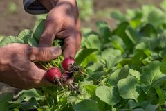 Radishes in the hands with the background patch stock images