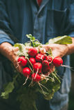 Radishes on hands Royalty Free Stock Photography