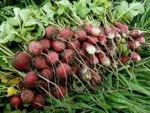 Radishes harvest. Bunch of fresh harvested radishes Royalty Free Stock Photo