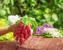Radishes harvest Stock Photo