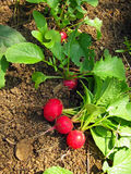 Radishes. Harvested small radishes in vegetable garden Stock Photography