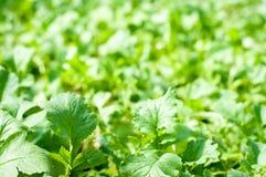 Radishes leaves. Fresh radishes plantation in detail Royalty Free Stock Photos