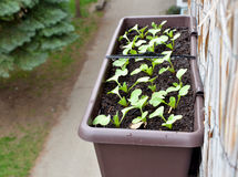 Radishes planted in plastic box hang on balcony railing from outside.  royalty free stock images
