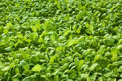 Radishes plants are growing in the soil. Many radishes plants are growing in the soil Royalty Free Stock Images
