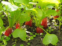 Radishes que crescem no solo Fotos de Stock