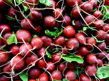 Radishes. The radish is a red, hot to the taste veggie.  Mainly eaten in the summer time and plays a good part in keeping you hydrated.  Its naturally cooling Stock Photography