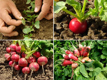 Radishes set Stock Photos