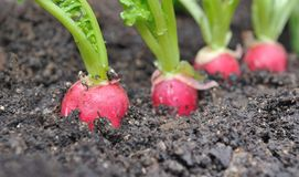 Radishes in soil Royalty Free Stock Photos