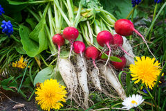 Radishes, turnips, harvest Stock Photography