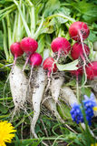 Radishes, turnips, harvest Royalty Free Stock Images