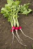 Radishes vermelhos orgânicos Fotografia de Stock