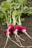 Radishes vermelhos orgânicos Fotos de Stock Royalty Free