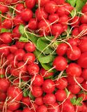 Radishes vertical full frame. Radishes have numerous varieties. Radishes are healthy vegetable Stock Image