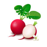 Radishes on white background Stock Photography