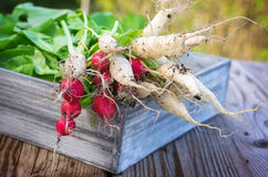 Radishes in wooden box. Harvested radishes in wooden box Royalty Free Stock Photos