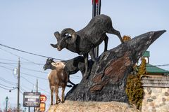 Radium Hot Springs, British Columbia, Canada - Janurary 20, 2019: A confused bighorn sheep baby ewe stands on top of a statue of. Bighorn sheep, confused royalty free stock images