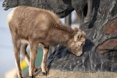 A confused bighorn sheep baby ewe stands on top of a statue of stock photo