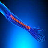 Radius Anatomy Bone with Ciculatory System. With highlighted zone - pain concept stock photo