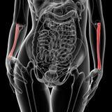 Radius bone Stock Photo