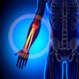 Radius / Ulna - Anatomy Bones. Medical imaging Stock Photo