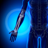 Radius / Ulna - Anatomy Bones. Medical imaging Stock Images
