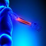 Radius Ulna Bones Anatomy with Circulatory System Royalty Free Stock Photos