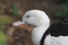 Radjah shelduck Royalty Free Stock Images