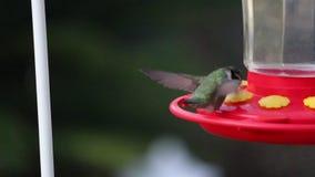RADOŚCI częstotliwości ALLEN ` S HUMMINGBIRD przepływ zdjęcie wideo