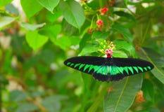 Radscha Brooke-` s Birdwing und kleine rote Blumen lizenzfreie stockfotos